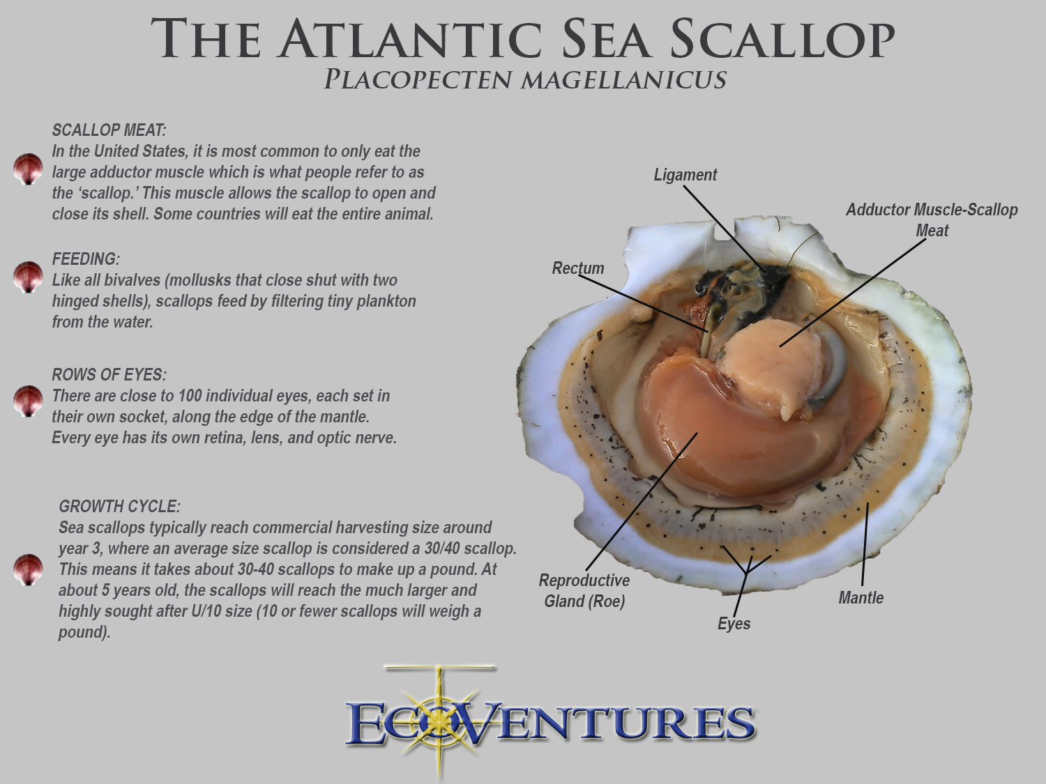 Anatomy of scallop